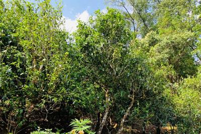 生态环境对茶叶品质的重要性