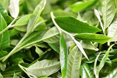 如何辨识台地茶和古树茶?